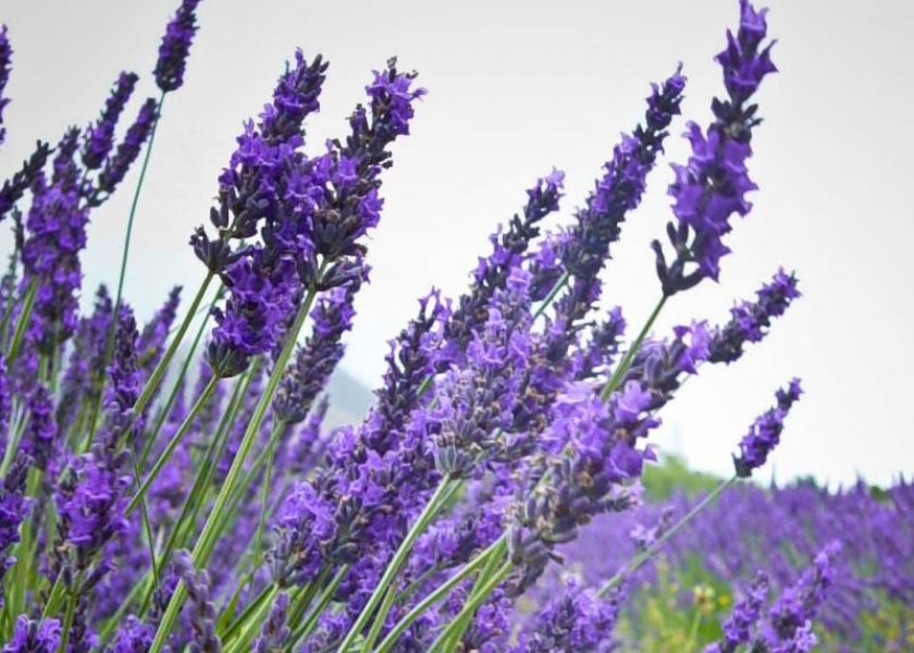 Turns out  lavender is...