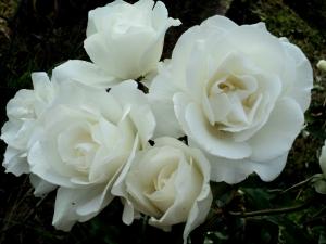1426157_white_rose_1