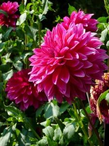 """<alt=""""pink dahlia""""/>"""