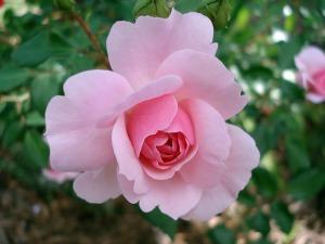 """<img src=""""image.gif"""" alt=A pink rose"""" />"""