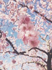 "<alt=""pink blossoms""/>"