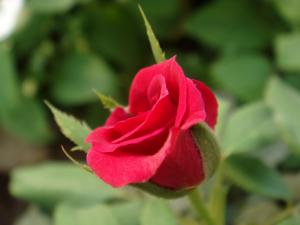"""<alt=""""red rose""""/>"""