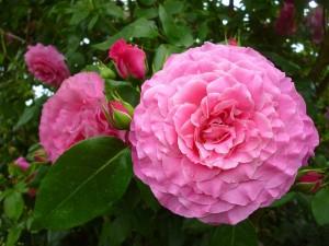 """<alt=""""pink rose""""/>"""