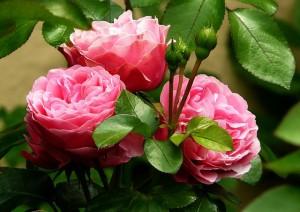 """<alt=""""3 pink roses""""/>"""