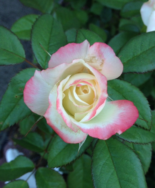 picture of rose
