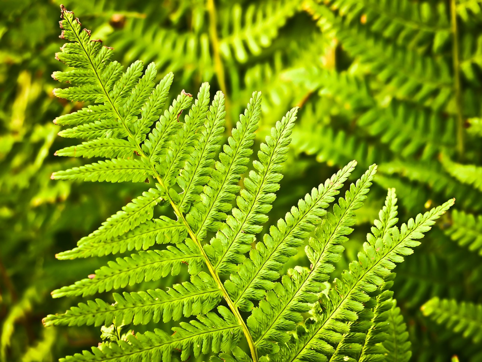 boston fern frond
