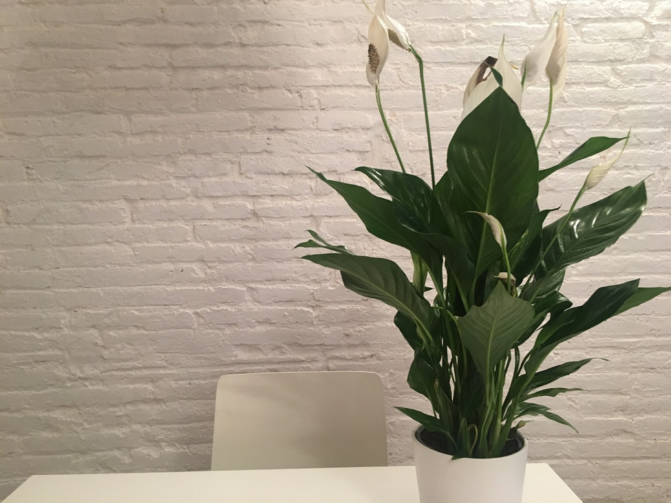 peace lily on a side table